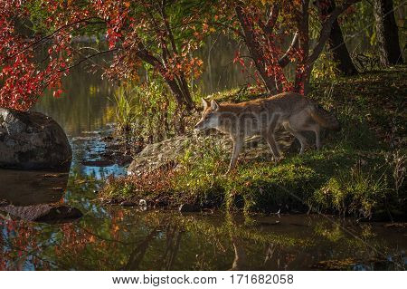 Coyote (Canis latrans) Walking - captive animal