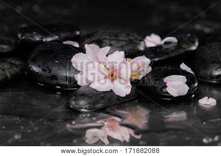 still life with pebble and with cherry blossom