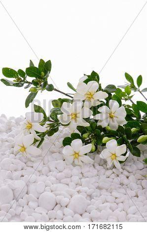 Beautiful white Gardenia laying on white stones background