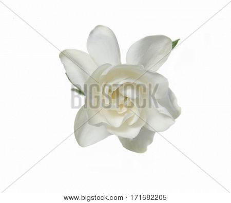 Gardenia flower with white petals