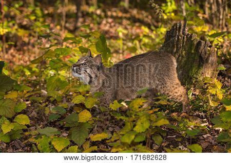 Bobcat (Lynx rufus) Looks Up - captive animal