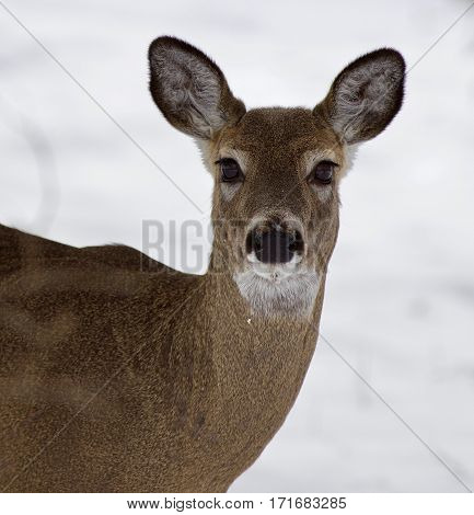 Beautiful Portrait Of A Wild Deer In The Snowy Forest