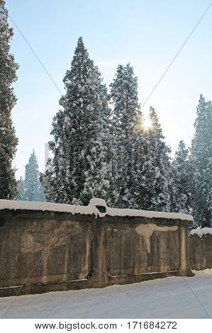 tall cedar trees covered with snow behind the wall af park and morning sun shining between them