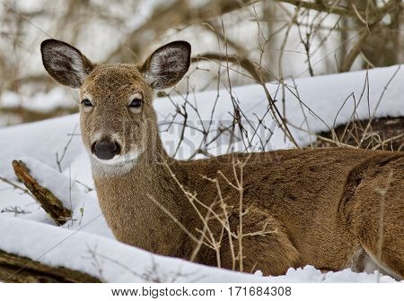 Beautiful Image Of A Wild Deer Laying  In The Snowy Forest
