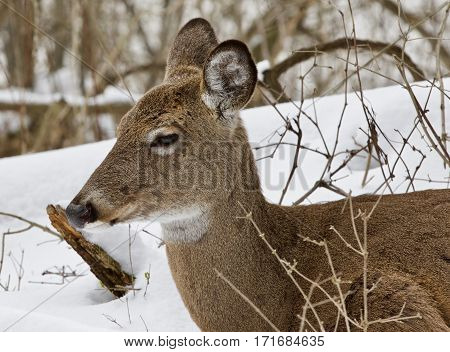 Beautiful Isolated Background With A Wild Deer In The Snowy Forest