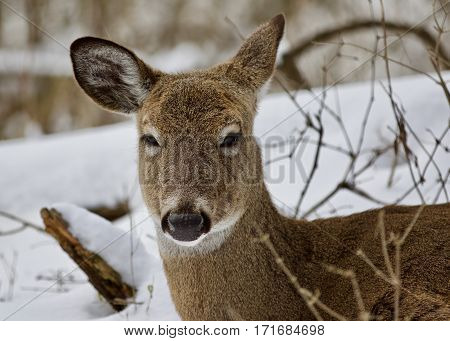 Beautiful Isolated Background With A Funny Sleepy Wild Deer In The Snowy Forest