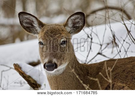 Beautiful Isolated Picture With A Wild Deer In The Snowy Forest