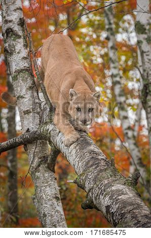 Adult Male Cougar (Puma concolor) Climbs Down Birch Tree - captive animal