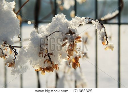 close photo of sear viny plant on the fence covered with snow and hoarfrost in winter