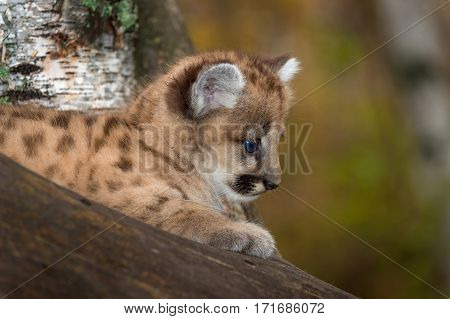 Female Cougar Kitten (Puma concolor) in Tree Profile - captive animal