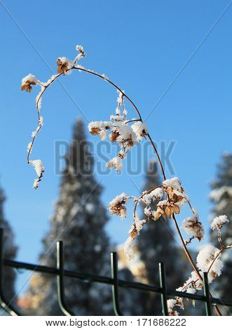 close photo of sear viny plant on the fence covered with snow and hoarfrost in winter and blue sky