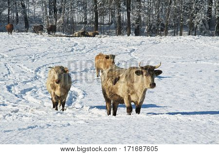 several beige cows in the snow on sunny winter day