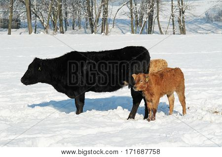black cow and little brown calves in the snow in winter