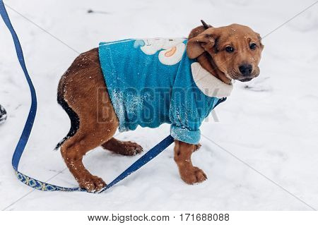 Cute Little Brown Puppy In Blue Sweater Walking In Snowy Cold Winter Park. Adoption Concept. Save An