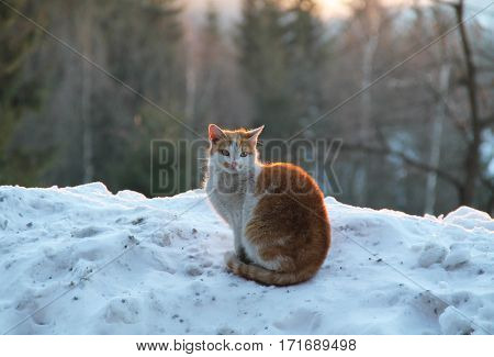 brown and white cat sitting on the snow and basking in the evening light
