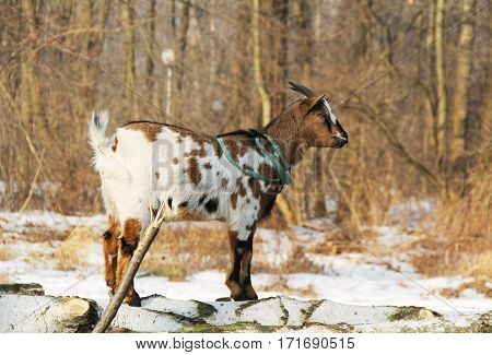 white and brown pet goat on the cut trunks of trees
