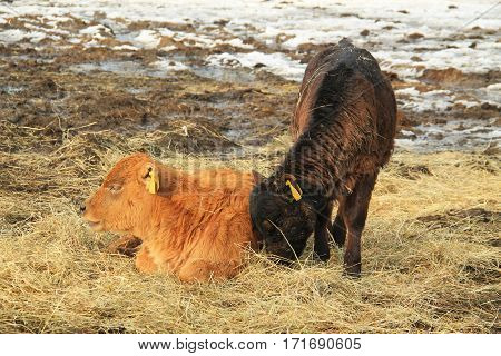 ginger calf lying in the hey and dark brown one eating in winter