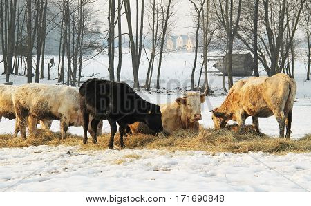 beige and black cows eating hey in winter