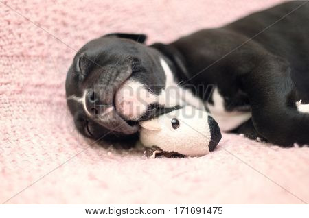Young puppy dog lying on pink blanket with his toy and sleeping. Staffordshire terrier cute puppy