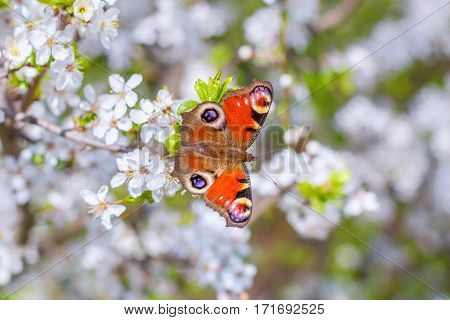Colourful European Peacock butterfly Inachis io, on a flowering branch of Prunus spinosa blackthorn, or sloe
