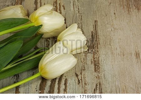 Four white tulips on old wooden table in a vintage style with a copy space on the right stronie.Flat top horizontal view.