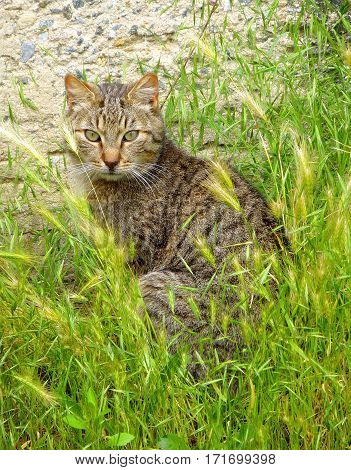 Photo of a tabby cat sitting in the grass