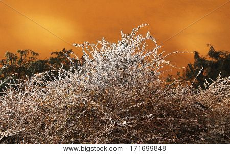 beautiful frozen white bush and dark twigs of conifers in contrast with orange wall of a house