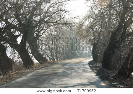 old bare willows growing at the sides of the road in misty morning, Poodri, Czech Republic