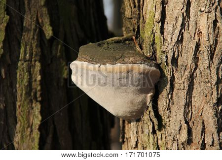 tinder fungus (Fomes fomentarius) growing on the trunk of tree