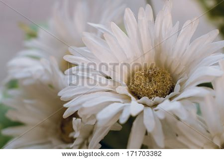 Background Of White Artificial Daisy Flowers