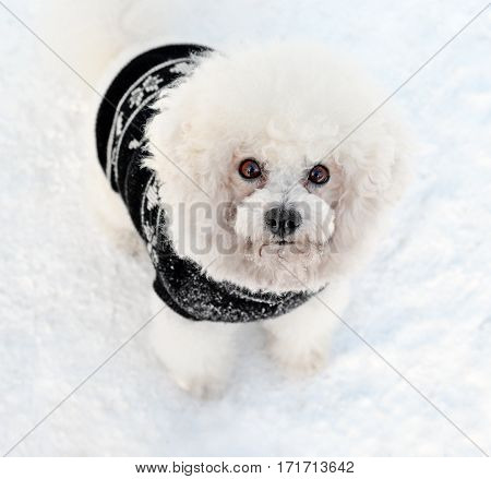 Dog Bichon Frise in a black vest on snow. Focus on a muzzle. Direct look.