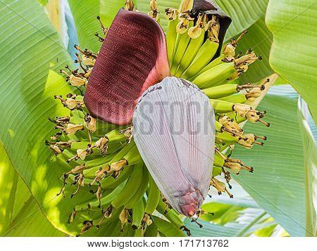 long banana blossom in the garden on a banana tree