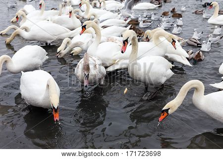 White Swans, Wild Ducks And Gulls Swimming In Sea Water In Winter. Fighting Seagulls Beg For Food Fr