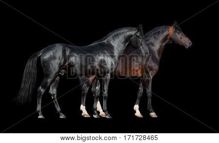 Horses isolated on black. Two dark horses standing together on black background.