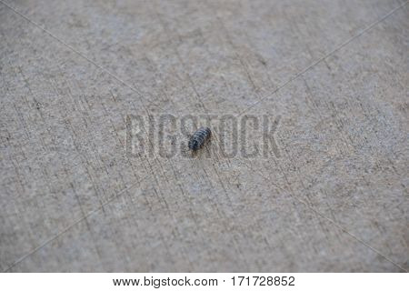a lonely pillbug also known as roly poly, is a terrestrial crustacean  from the woodlice family.