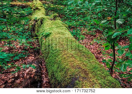 Big tree on the ground covered with moss in Plitvice lakes park forest.