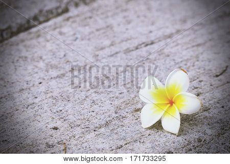 Plumeria flower background. Falling flower and vintage with grain background