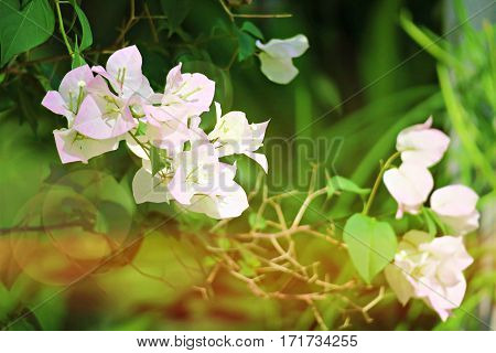 Bougainvillea flowers filed and abstract green background