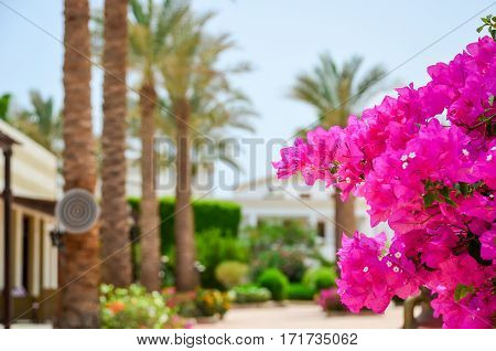 Beautiful Flowers Of Bougainvillea In The Hotel On The Coast Of Egypt