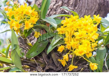 Dendrobium chrysotoxum Lindl , yellow orchid nature