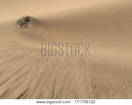 Lonely bushy plant in a sand desert