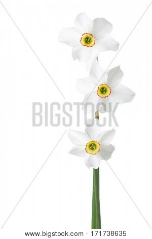 Three  white narcissus (Narcissus poeticus) isolated on white.