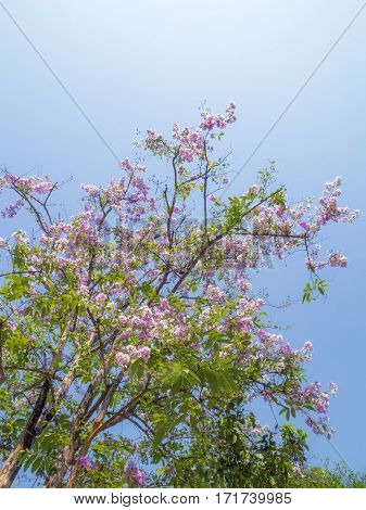 Pink flowers in the summer of Thailand