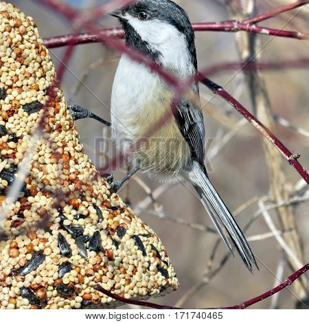 Black-capped chickadee on a feeding troug in Humber Bay Park on a shore of the Lake Ontario in Toronto Canada February 16 2017