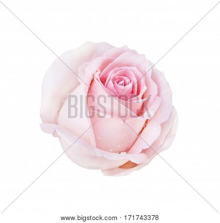 Pink Rose Isolated On White Background And Water Drop, Clipping Path