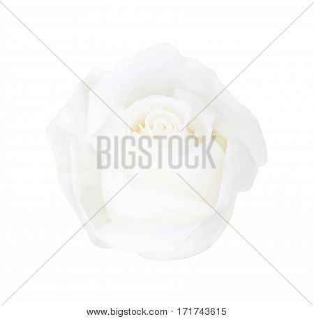 White Rose Isolated On White Background, Soft Focus And Clipping Path