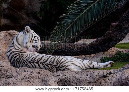 Rare White Striped Wild Tiger