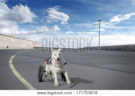 Brave disabled white sheppard with wheel support trains moving with wheelchair on a big empty place.