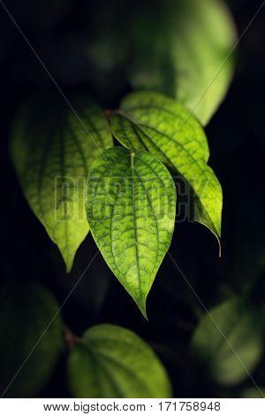 fresh Green leaves on black background in park