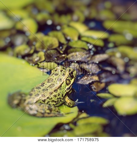 close up Green Frog in a wetland